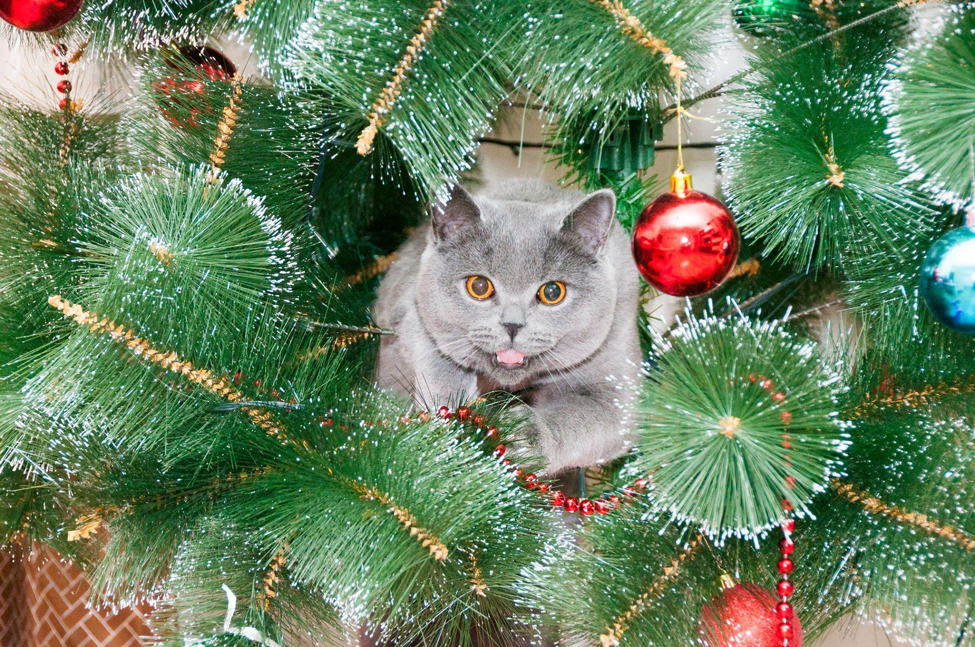 британские кошки и елки фото актуальная прическа как